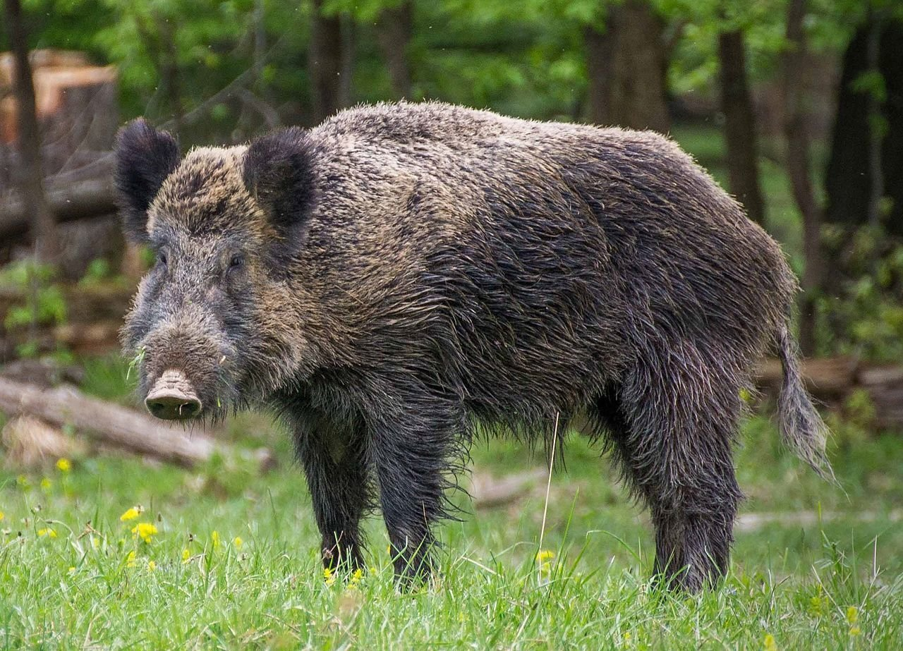 Ein Wildschwein im Lainzer Tiergarten. - © Valentin Panzirsch, CC BY-SA 3.0 at, https://commons.wikimedia.org/w/index.php?curid=46902117