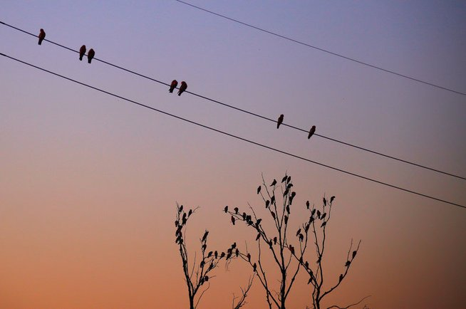 "Australian native birds called Galahs perch on power lines and dead trees, at sunset in the outback town of Stonehenge in Queensland, Australia, August 12, 2017. REUTERS/David Gray SEARCH ""GRAY STONEHENGE"" FOR THIS STORY. SEARCH ""WIDER IMAGE"" FOR ALL STORIES. - © REUTERS"